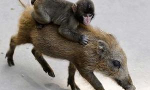 Xem khỉ con cưỡi lợn lòi