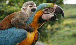 Khỉ ôm cổ vẹt bay khắp nơi