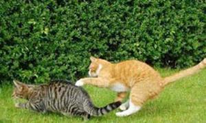 Một ngày của 'ông chồng' Mèo mướp