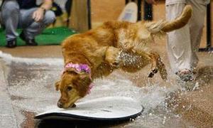 Chó thi lướt ván