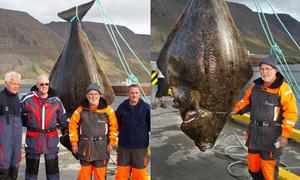 Cá Bơn khổng lồ đủ cho 1000 người ăn