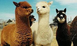 Xinh xinh, yêu yêu là 'bé' lạc đà Alpaca