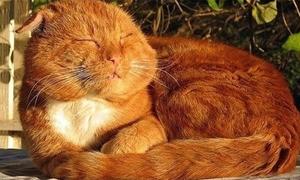 'Mèo bự' có nét đáng yêu rất riêng nhé!