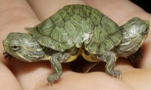 Hàng độc - Chú rùa 2 đầu