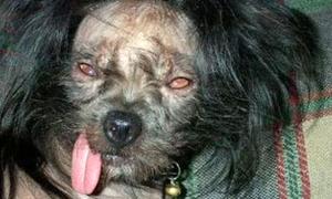 Những chú chó xấu nhất thế giới