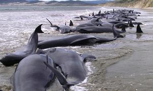 Hơn 100 con cá voi mắc cạn chết trên bờ biển