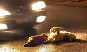 Rớt nước mắt chú chó liều mạng bảo vệ bạn