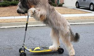 Chú chó đa tài trượt xe Scooter cực kỳ điêu luyện