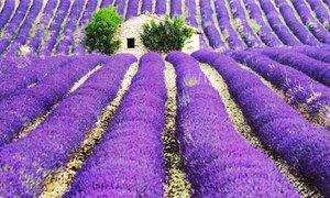 Những cánh đồng hoa oải hương đẹp mê hồn