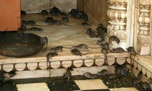 Bạn sẽ tới thăm ngôi đền thờ... chuột này chứ?