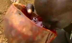 Tìm hiểu bộ tộc 'nghiện' uống máu bò tươi