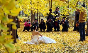 Lạc vào rừng cây bạch quả vàng đẹp miên man