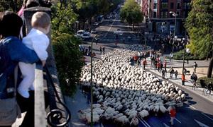 5.000 chú cừu 'chạy việt dã' từ nông thôn lên thành phố
