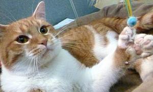 Mèo kiếm tiền tỉ vì có tới 26 ngón chân