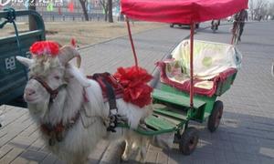 Taxi cừu ở Trung Quốc lên 'cơn sốt'