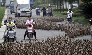 5.000 con vịt làm náo loạn đường phố