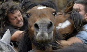 Cuộc chiến giữa những người đàn ông và ngựa hoang
