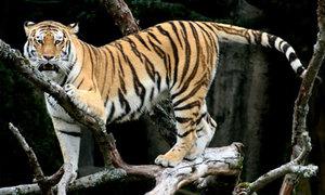 Tại sao hổ không sống ở châu Phi?