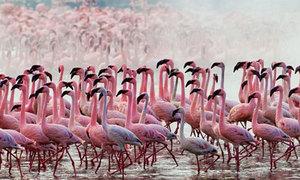 Mãn nhãn ngắm hàng nghìn chú hồng hạc rực rỡ một vùng