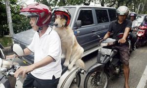 Chú chó đội mũ bảo hiểm đi xe máy với chủ