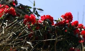 Xứ sở hoa đỗ quyên trên đỉnh Phan Xi Păng