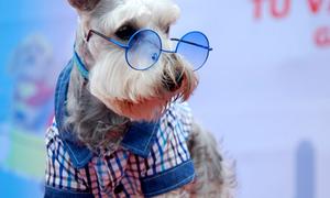 Cún cưng xinh đẹp biểu diễn thời trang
