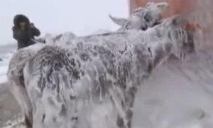 Kỳ diệu: Lừa vẫn sống nhăn dù bị đóng băng