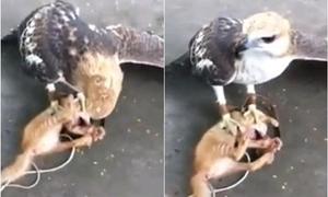 Nhóm thanh niên dạy đại bàng giết mèo gây phẫn nộ