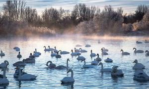 'Hồ Thiên Nga' mơ màng trong giá rét