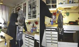 'Quái vật' chuột 40cm đục tường bê tông vào nhà