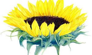 4 cách vẽ hoa hướng dương tỏa nắng