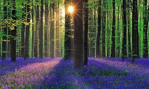 Đẹp ngất ngây cánh rừng trải thảm hoa như cổ tích