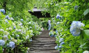 Vẻ đẹp rực rỡ của hoa tú cầu trong mùa mưa Nhật Bản