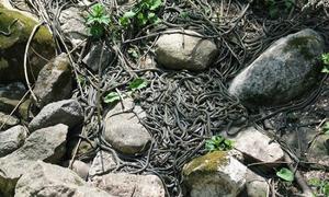 Hàng chục nghìn con rắn hội ngộ sau kỳ ngủ đông