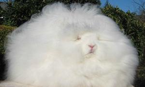 Thỏ Angora khổng lồ lông xù mềm mịn