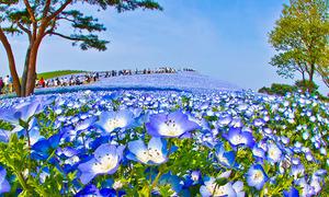 Cánh đồng hoa mắt xanh đẹp mê hoặc ở xứ mặt trời mọc