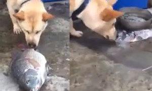 Cảm động chú chó tạt nước cứu cá