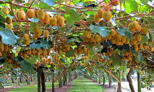 Những cây ăn quả đẹp mê ly, sai trĩu cành