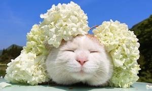 Ngắm 'mòn mắt' chú mèo ham ngủ hạnh phúc Shironeko