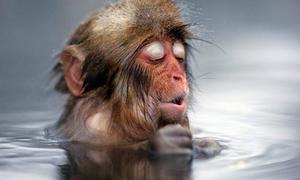 Ngắm khỉ tuyết Nhật Bản tắm suối nước nóng cực yêu