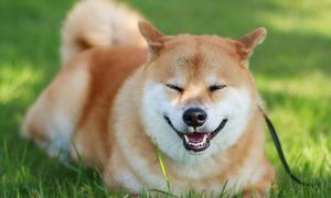 Chú chó mặt cười hạnh phúc được triệu người yêu mến