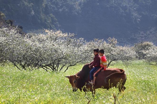 """<p class=""""Normal""""> Bên cạnh vẻ đẹp của cây cối, núi rừng là nét thanh bình rất đỗi nên thơ ở đây. Cánh đồng hoa cải cuối mùa xen giữa rừng mơ, rừng mận trắng xóa nay trở thành bãi thả trâu, bò và nô đùa của trẻ thơ.</p>"""