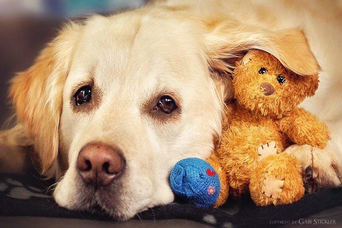 <p> Mali thuộc giống chó Golden Retriever thích chơi đùa, rất trung thành và thông minh. Mali có đôi mắt sáng long lanh man mác buồn rất đẹp.</p>