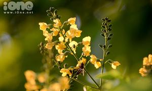 Giới trẻ Đà Nẵng mê mẩn mùa hoa sưa vàng ngập đầy phố