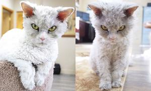 'Phát sốt' với chú mèo cáu kỉnh luôn lườm nguýt