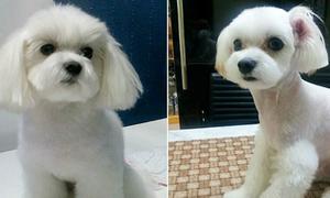 Trào lưu căng ngực, nâng mí cho chó ở Hàn Quốc