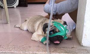Bạn trẻ cầu cứu chú cún Pug bị đánh đập đến rớt một bên mắt