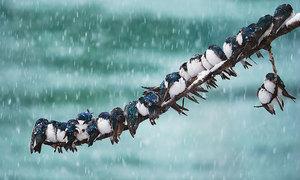 Loài chim 'kề vai sát cánh' với nhau thế nào?