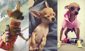 Chú chó Coco siêu đáng yêu Văn Mai Hương xem như 'con'