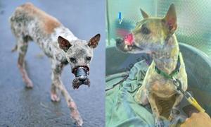 Chú cún bị băng chặt mõm sau 40 ngày giải cứu